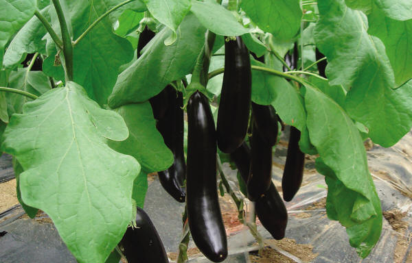 vegetable021.jpg