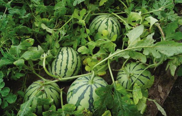 vegetable023.jpg